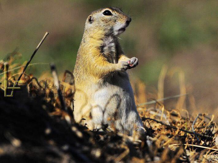 草原上的小动物 俗称大眼贼